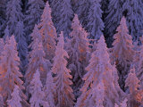 Snow Blanketed Fir Trees in Germany&#39;s Black Forest at Sunrise