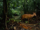 Red Brocket Deer Climbs Up the Bank from a Creek