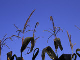 Tassels Atop Tall Corn Plants Against a Blue Sky