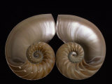 Nautilus Shell Cut in Half to Reveal Compartments