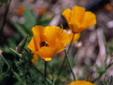 Bee Drinking from a California Poppy