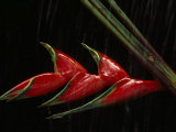 Close View of a Heliconia Flower
