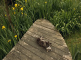 Cat Relaxing on a Wooden Deck Near Yellow Irises in Bloom