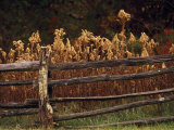 Tall Weeds in Autumn Brown Along a Split-Rail Fence