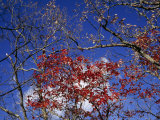 Red Maple Leaves and Blue Sky Atop Meadow Creek Lookout