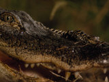 Newborn American Alligator on Top of its Mother&#39;s Nose