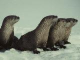 River Otter Family  Montana