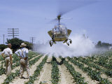 Men Watch Hovering Helicopter Spray Insecticide on Pepper Field