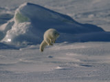 White Arctic Fox (Alopex Lagopus) Jumps on a Den