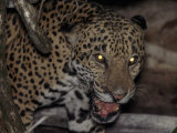 Jaguar Snarls at the Camera Shortly before Being Shot with a Tranquilizer Dart