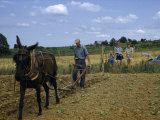 Children Watch a Farmer and His Mule Cultivate a Tobacco Field
