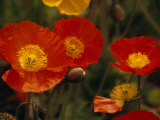 Iceland Poppies  &quot;Champagne Bubblemix &quot; in Bloom