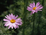 Pair of Delicate Pink Daisies
