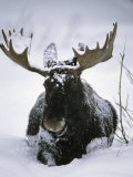 Bull Moose Wading Through Three Feet of Snow