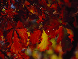 Clusters of Colorful Oak Leaves in Fall Colors