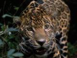 Jaguar Named Boo Gets Up Close to a Camera at the Belize Zoo