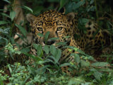 Jaguar Rests in a Patch of Weeds