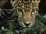 Jaguar Named Boo at the Belize Zoo Looks into the Camera