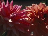 Close Up of Dahlia Flowers