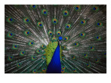 Peacock