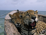 Two Jaguars Rest in a Boat