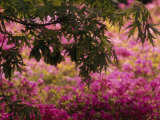 Japanese Maple Branch Hanging over Blooming Korean Rhododendrons