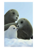 Family of Seals Reproduction d'art