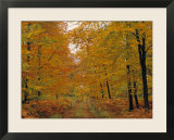 Beech Trees in Autumn  Surrey  England