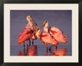 Four Roseate Spoonbills at Dawn  Ding Darling NWR  Sanibel Island  Florida  USA