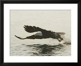 Bald Eagle Seeking to Catch a Fish  Homer  Alaska  USA