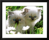 Two White Persian Kittens  Sweden