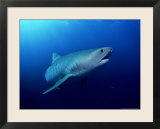 Tiger Shark  Aliwal Shoal  South Africa