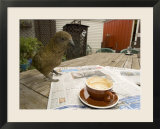 Kea on Coffee Table  New Zealand