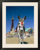 Seaside Donkey on Beach with Blackpool Tower Behind  Blackpool  Lancashire  England