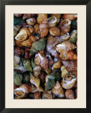 Whelks on Sale at a Seafood Market  Treguier  Brittany  France