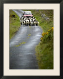 In Irish Shepherd Herds His Flock of Sheep  Clare Island  County Mayo  Ireland