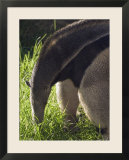 Captive Giant Anteater  Santa Barbara  California