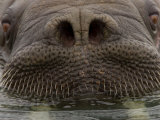 Close up of Young  Male Atlantic Walrus
