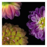 Purple Dahlia I