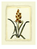 Hyacinth IX