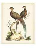 Regal Pheasants II