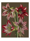 Lush Amaryllis II