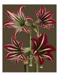 Lush Amaryllis I