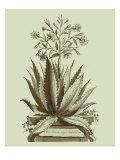 Vintage Aloe I