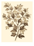 Sepia Munting Foliage I