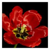 Shimmering Tulips III