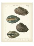 Arche Shells  Pl306