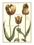 Tulipa II