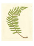 Broad Buckler Fern
