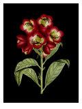 Crimson Flowers on Black III
